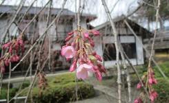 しだれ桜 開花