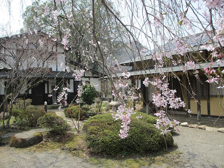 しだれ桜が見ごろです