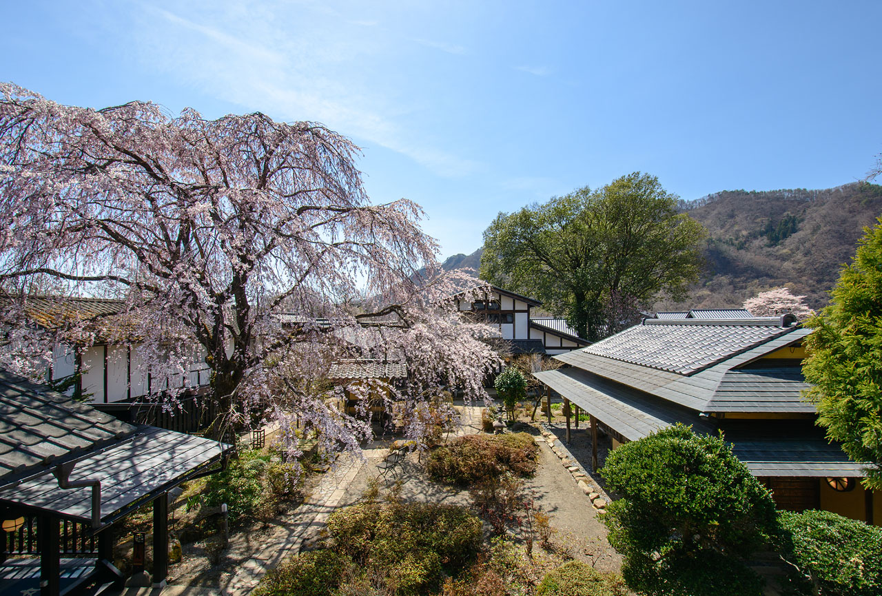 今年のしだれ桜は・・・?