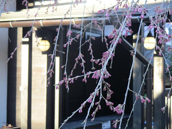 しだれ桜が開花しました!